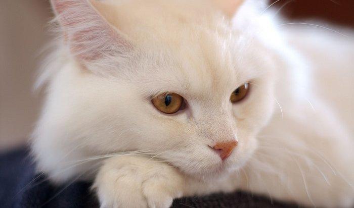 Иркутянка даже через суд несмогла вернуть спередержки свою кошку стоимостью 100 000рублей