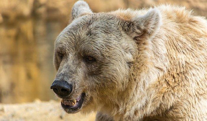 ВУсть-Илимске бурый медведь пришел вдетский лагерь (Видео)
