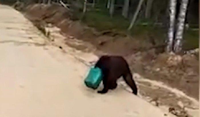 Сотрудники минэкологии разыскивают якутского медведя сканистрой наголове (Видео)