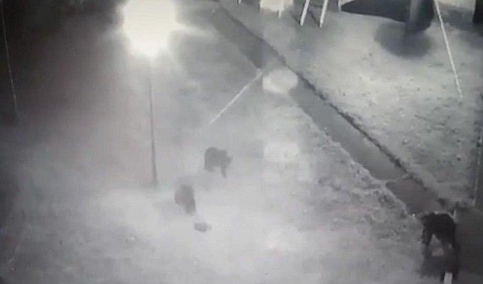 ВБратске три медведя зашли вдетский лагерь «Надежда» (Видео)