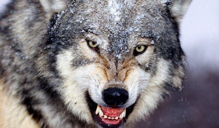 ВИркутской области снова платят задобычу волка