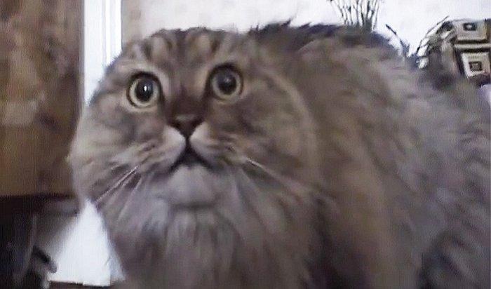 ВПерми умер кот-мем Nonono (Видео)