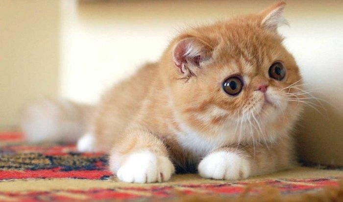 ВИркутске покажут котят редких пород