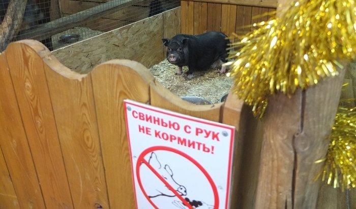 Свинка Ксюша иззоосада поздравила всех сНовым годом (Видео)