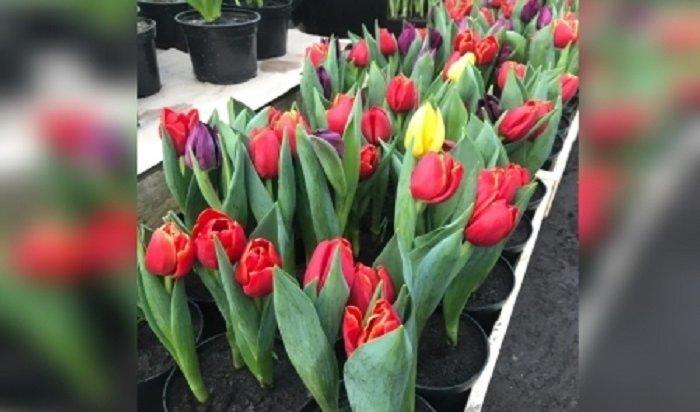 Более 65тысяч цветов вырастили вИркутске к8марта