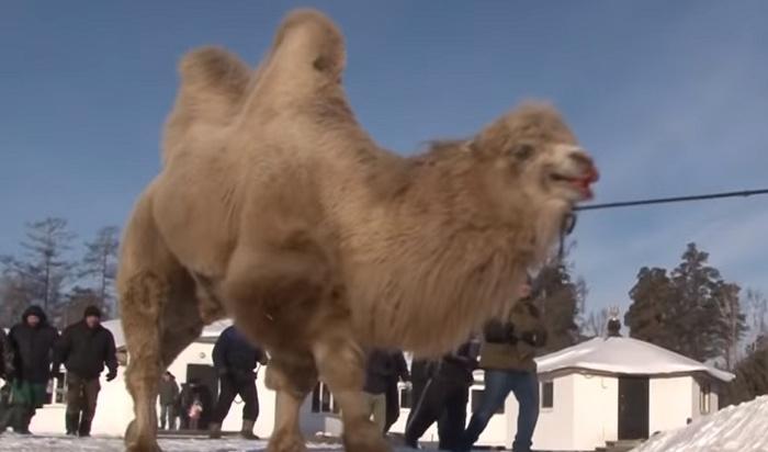 Шаманов изАнгарска, которые принесли вжертву верблюдов, оштрафовали на3тысячи рублей