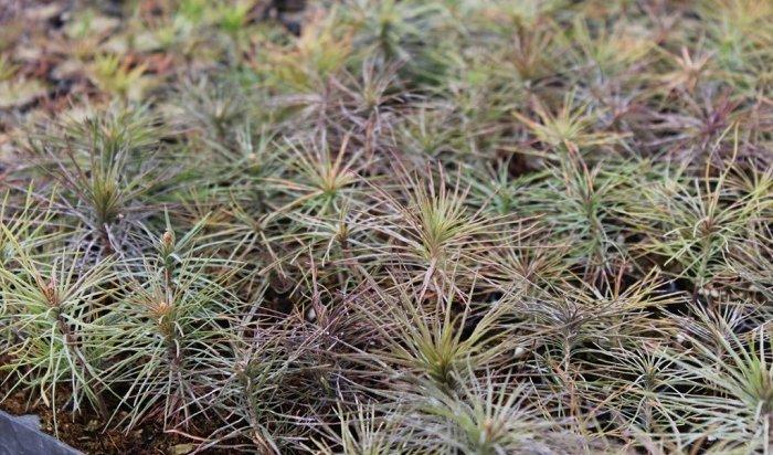 Наместе лесных пожаров вИркутской области высадят семена хвойных пород