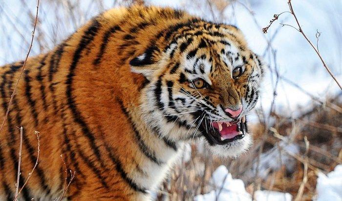 Житель Хабаровского края застрелил амурского тигра, напавшего наего корову