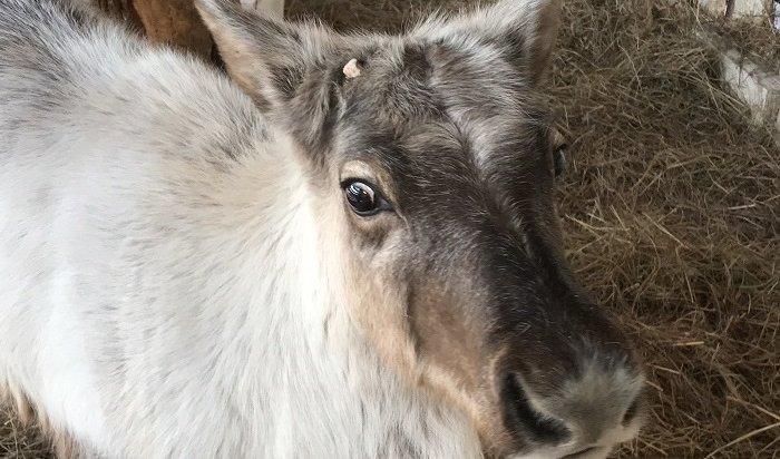 Две самки северного оленя появились вИркутском зоосаде (Видео)