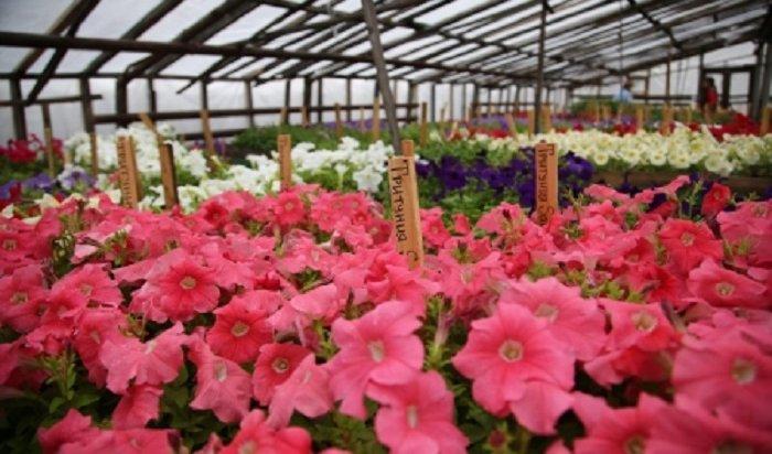 Более 550тысяч цветов появится нагородских клумбах вИркутске