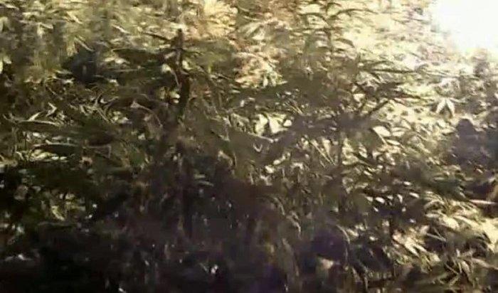 Житель Усолья выращивал коноплю вбане (Видео)