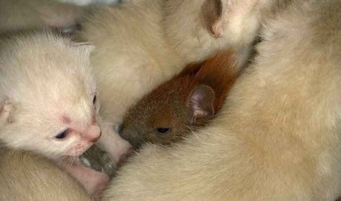 Виркутской зоогалерее кошка выкормила бельчонка