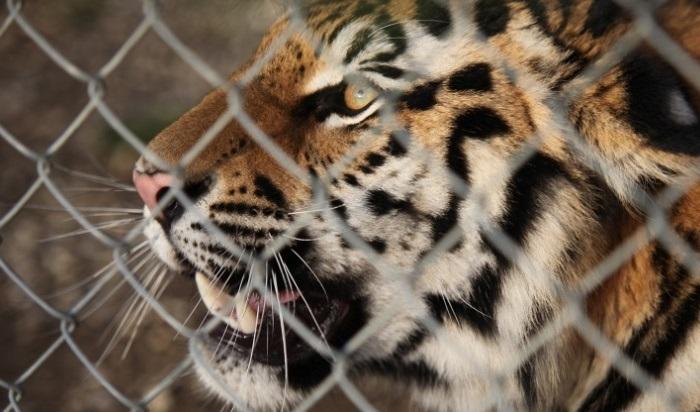 Тигр атаковал мотоциклистов вИндии (Видео)