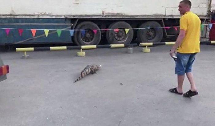 Крокодил Вадик сбежал изновосибирского шапито иустроил переполох (Видео)