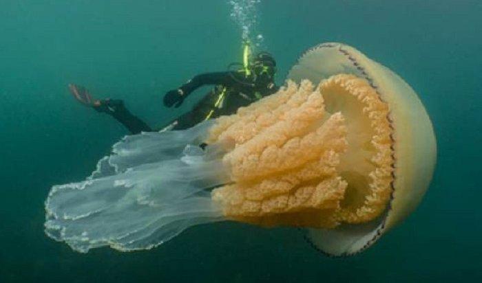 Британские дайверы обнаружили медузу размером счеловека
