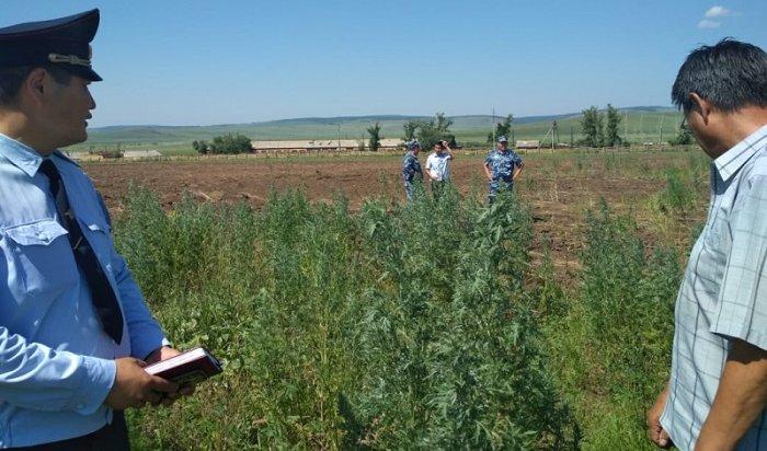 Полицейские Иркутской области уничтожают поля сдикорастущей коноплей (Видео)