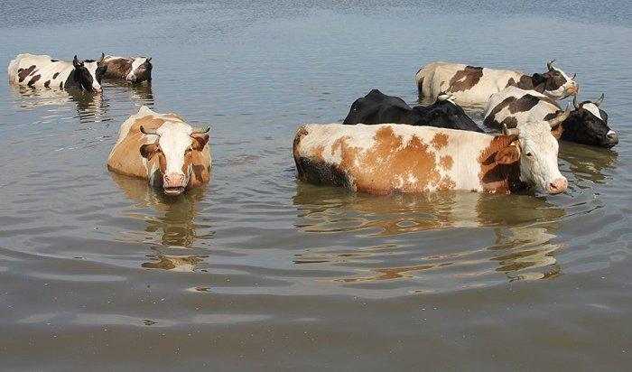 Органы ветнадзора «незаметили» более 100туш павших животных взоне паводка вПриангарье