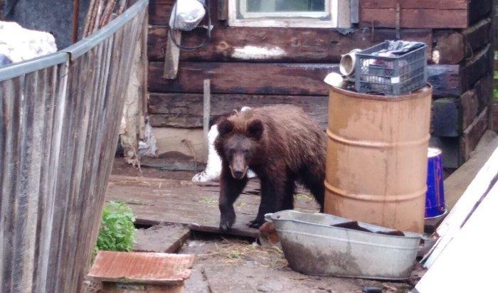 Медведь «навестил» супругов-пенсионеров вдеревне под Нижнеудинском
