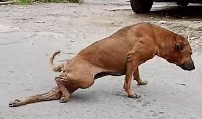 Тайская собака, выпрашивая утуристоведу, научилась притворяться инвалидом (Видео)