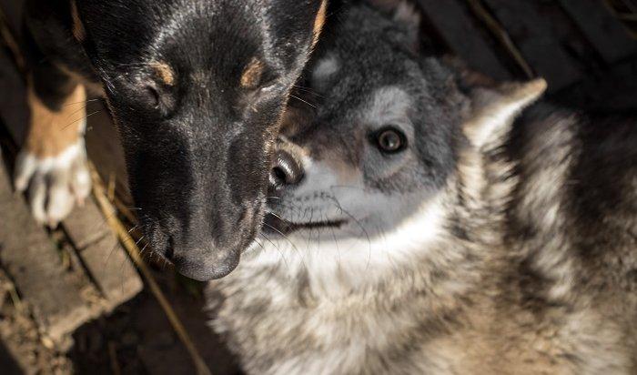 Волчица идворняжка живут водном вольере вИркутском зоосаде