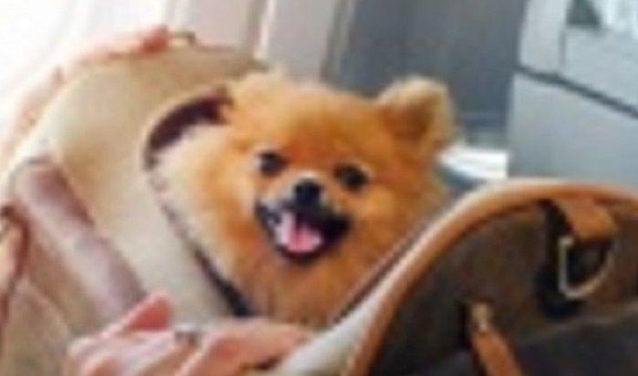 Собаку, прилетевшую схозяином вИркутск изБангкока, изолировали без права выгула