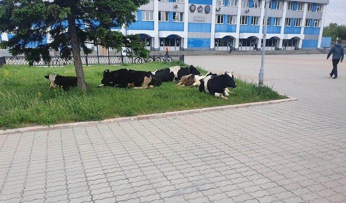 Три коровы идва теленка заблудились вИркутске-II