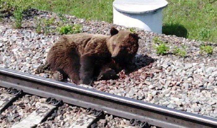 Медведица попала под поезд вЧунском районе