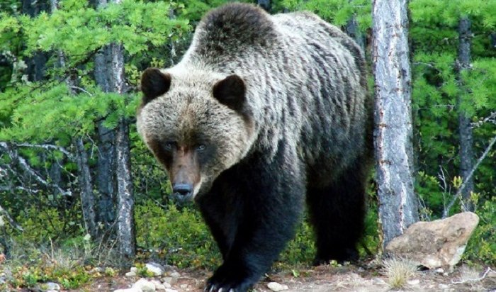 Медведь забрался наприусадебный участок жителя Усть-Илимского района