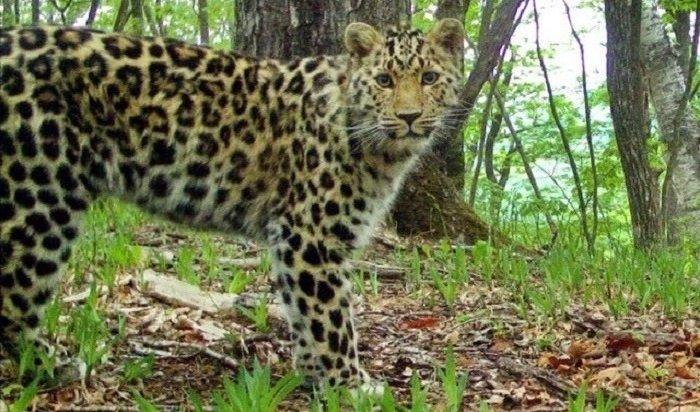 Дальневосточного леопарда поможет сохранить искусственный интеллект МТС
