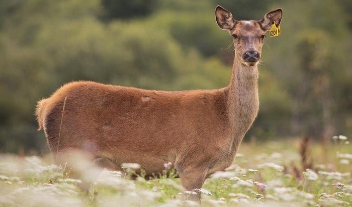 ВИркутской области задержали двух браконьеров, убивших оленя (Видео)