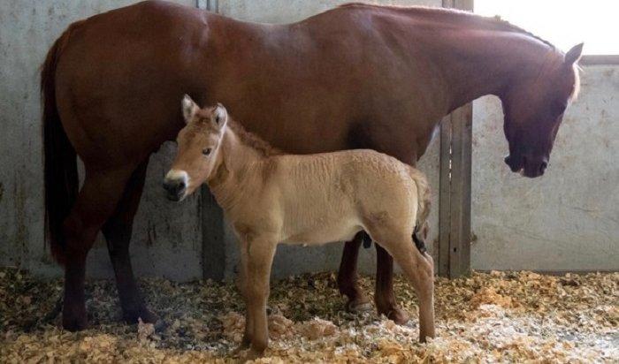 Ученые впервые клонировали лошадь Пржевальского (Видео)
