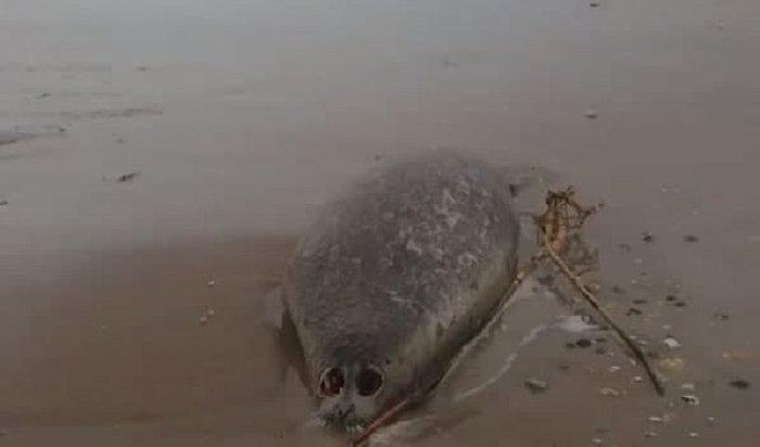 Наберегу Каспийского моря нашли 17мертвых тюленей вгоре мусора (Видео)