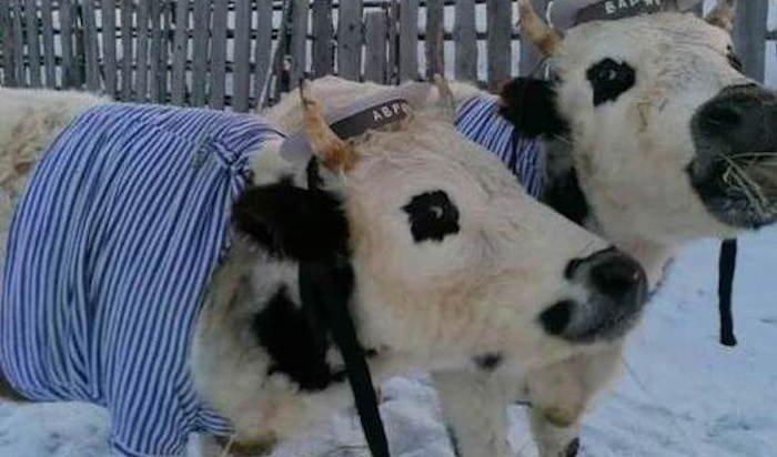Конкурс красоты среди коров провели жители села вЯкутии