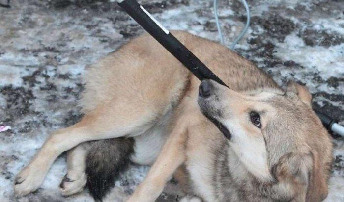 Приют «Пять звезд» продолжает отлавливать иубивать собак (Видео)