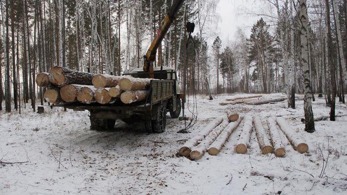 Девять «чёрных» лесорубов предстанут перед судом за незаконную рубку леса