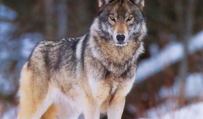 При помощи экшен-камеры ученые выяснили, что дикие волки ловят рыбу (Видео)