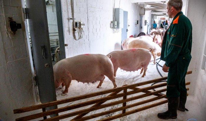 Суд частично приостановил деятельность «Усольского свинокомплекса»