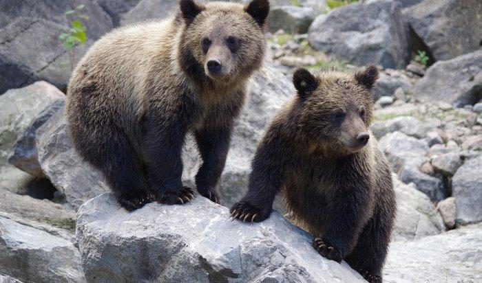 НаКБЖД временно запретили ставить палатки из-за активности медведей