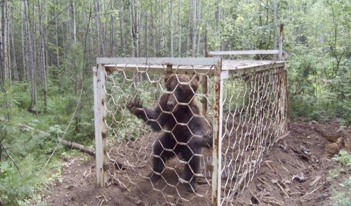 ВУсть-Илимском районе спасли истощенного медведя, попавшего вбраконьерскую ловушку