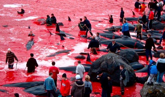НаФарерских островах вДании вовремя традиционной охоты убили более 1500дельфинов (Видео)