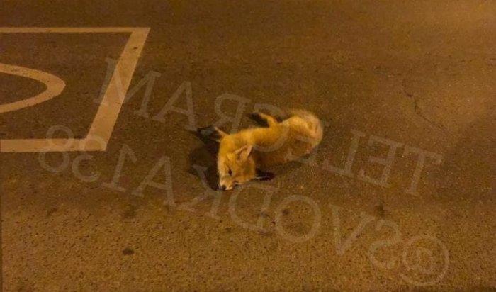 В Иркутске сбили лису, которая выскочила на дорогу (Видео)