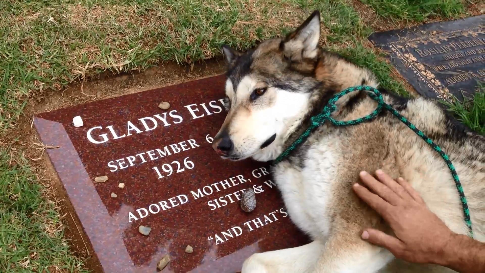 зявляються пес хаски на могиле хозяина история Владивостока