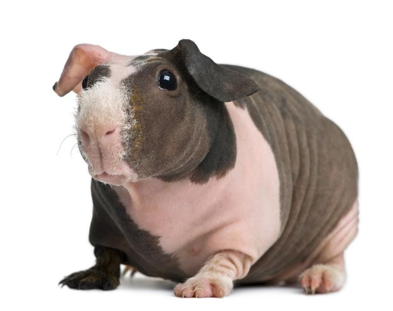 тогда картинка морская свинка скинни люди могут